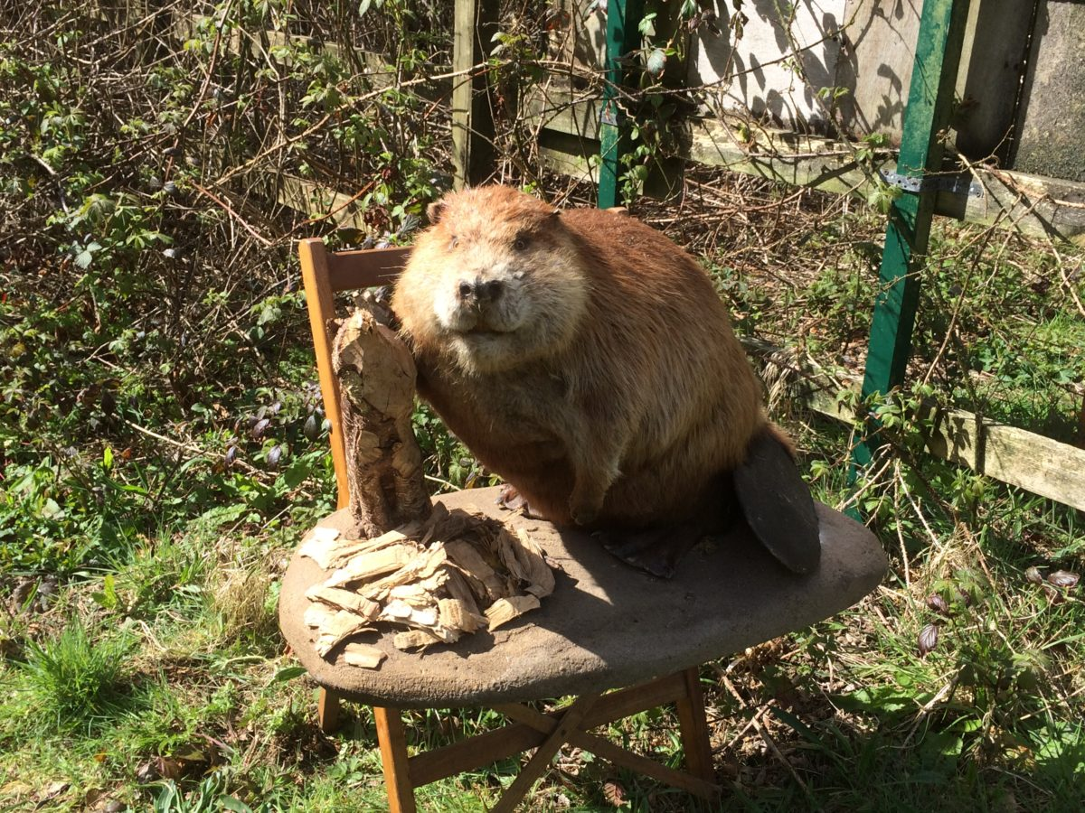 Welsh Beaver Project