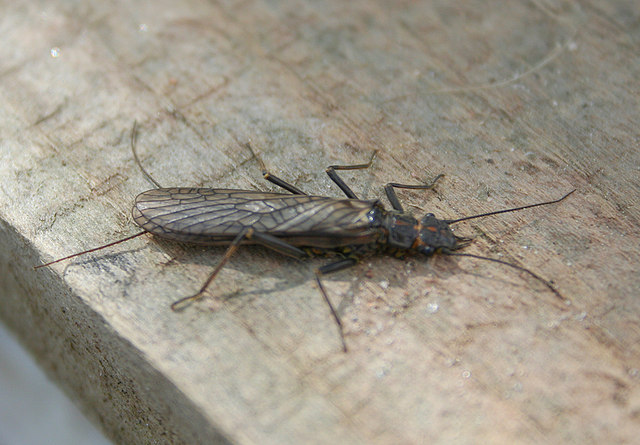 Riverfly Monitoring Newsletter – winter 2017/18