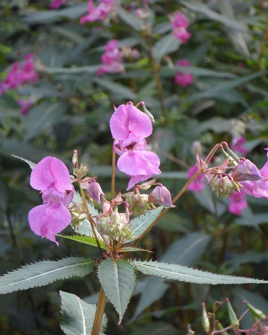 The problem with Himalayan Balsam